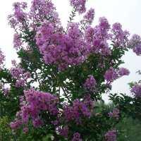 紫薇树苗红花紫薇小苗紫薇花苗红火箭紫薇红火球紫薇苗当年开花