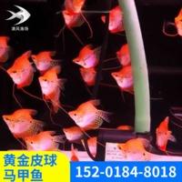 淡水宠物鱼活体观赏黄金皮球马甲鱼水族馆观赏鱼黄金皮球马甲鱼
