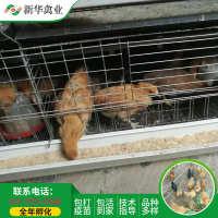 脱温江汉鸡青年高产绿壳蛋鸡脱温土鸡青年土鸡苗批发
