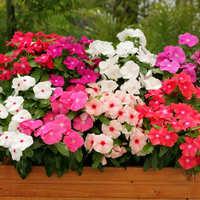 长春花日日春进口花苗泛美播种苗花卉苗阳台桌面花盆栽开花耐.