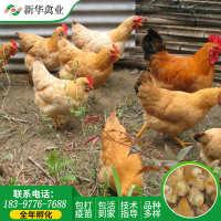 湖南厂家供应优质三黄鸡苗土鸡苗销量高成活率高三黄鸡苗